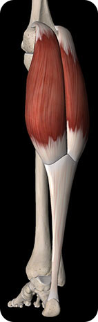 Image of Gastrocnemius in relation to Achilles Tendionopathy