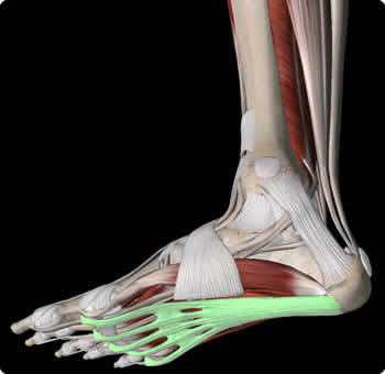 Image of a Right foot with the plantar fascia highlighted in green