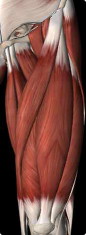 Image of the Quadriceps muscles (left thigh) anterior view
