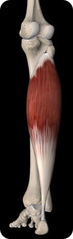 Image of the Gastrocnemius muscle (right calf) posterior view